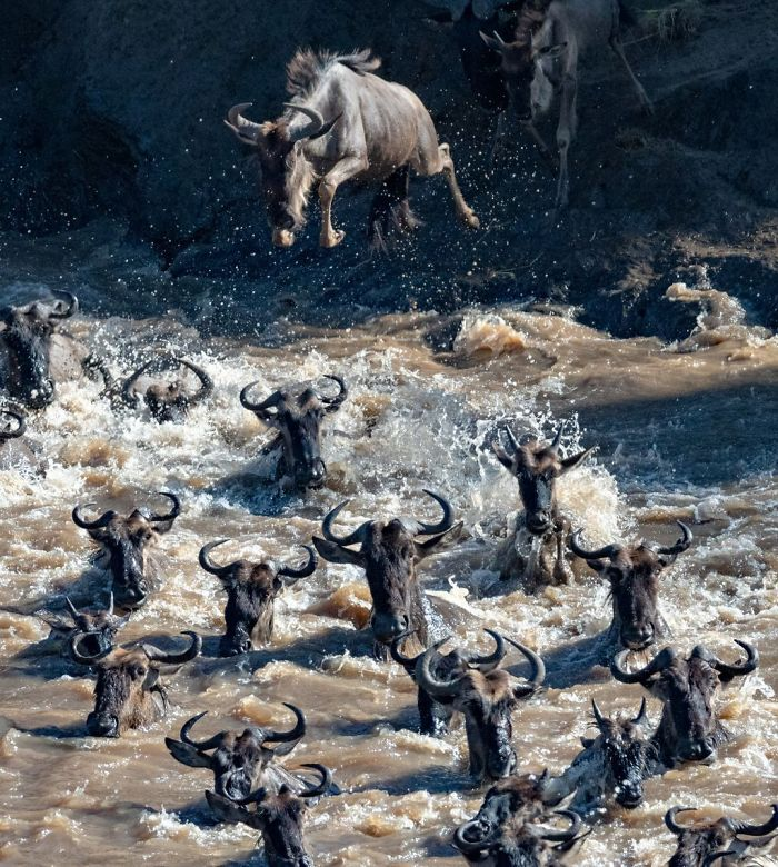 GREAT MIGRATION OF WILDEBEEST, PENNY HEGYI, nature