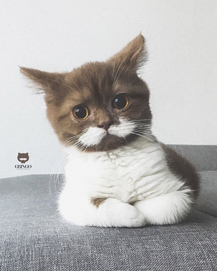 White-Mustache-Cat-Gringo