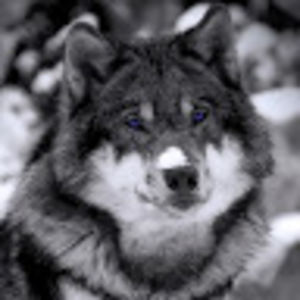 Echo Wolf