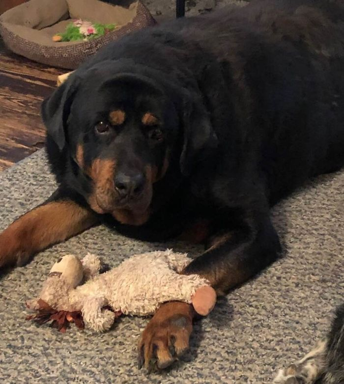 "My ""Little"" Rotti 200 Lb Brutus With His Toy Hors, Gus"