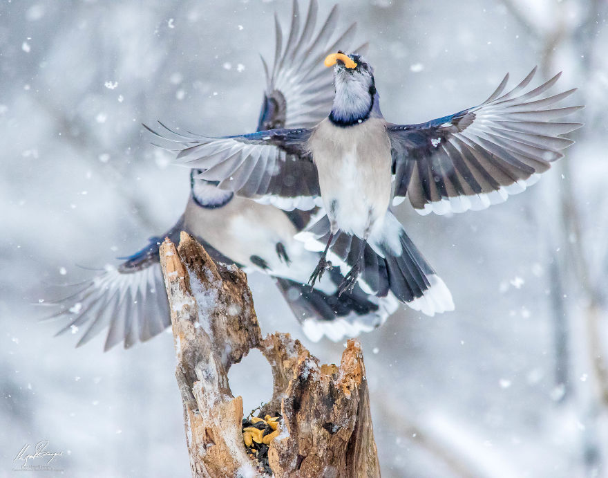 Dancing Blue Jays