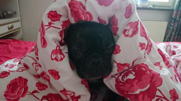 Fonzie-Bulldog-5d1346e71f428-png.jpg