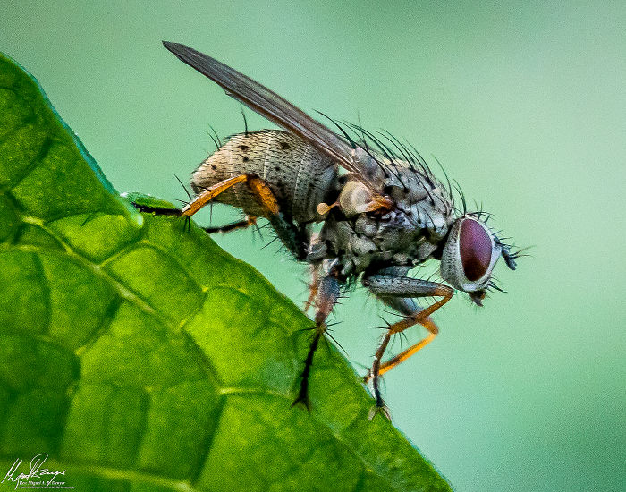 Corpse Fly
