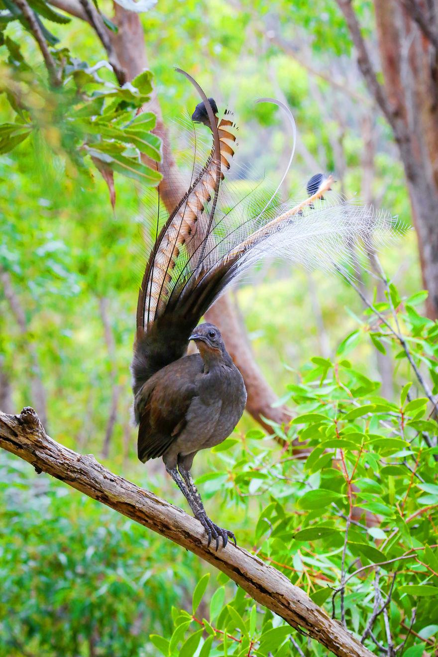 الطيور المقلدة،طائر القيثارة