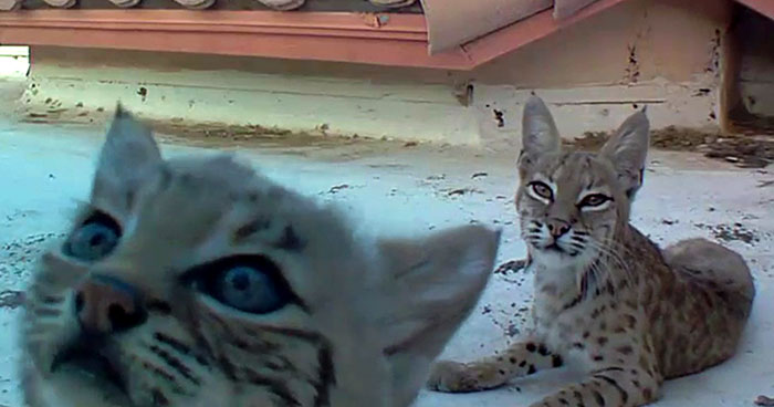 Bobcat Gives Birth To A Litter Of Kittens On Guy's Roof, So Next Year He Sets Up A Camera