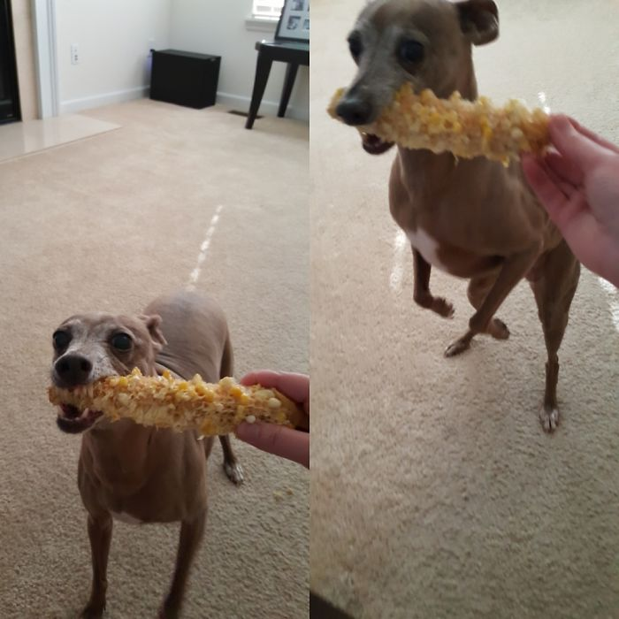 Pickles Is Very Serious About Her Corn On The Cob!!