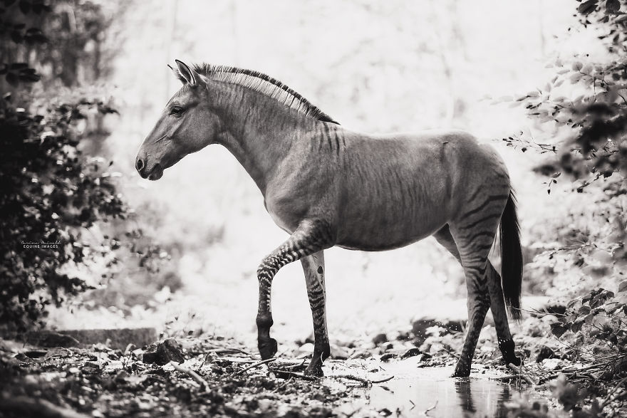 I Photographed A Zorse – The Hybrid Most People Don't Think Exists (10 Photos)