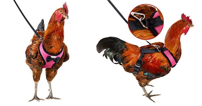 Amazon vende arneses para pollos que ayudarán a tu gallina a cruzar la carretera sin problemas