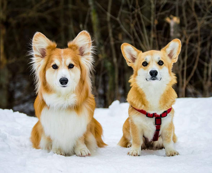 Fluffy Corgi vs. Regular Coat