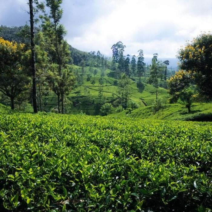 I Capture Breathtaking Tea Estates Of Sri Lanka