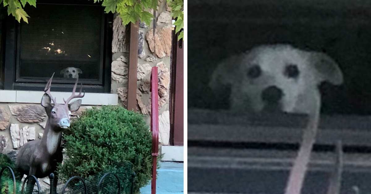 Dog Waits For His Owner To Come Back From Work By The Window Every Day For 11 Years