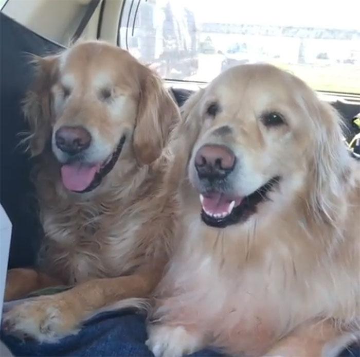 Slepý zlatý retríver má za svojho najlepšieho kamaráta vodiaceho psa