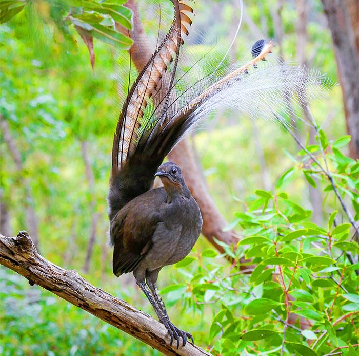 I Photographed The Best Copycat Bird In The World, Lyrebird