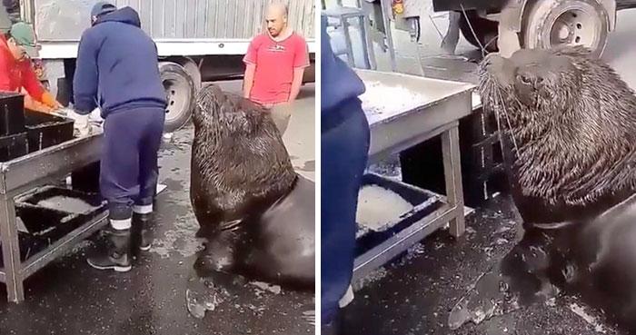 Este enorme león marino entra en una lonja y pide pescado
