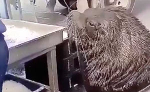Giant Sea Lion Enters A Fish Market And Asks For Snacks