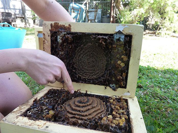 Stingless-Sugarbag-Bees-Spiral-Hives-Australia