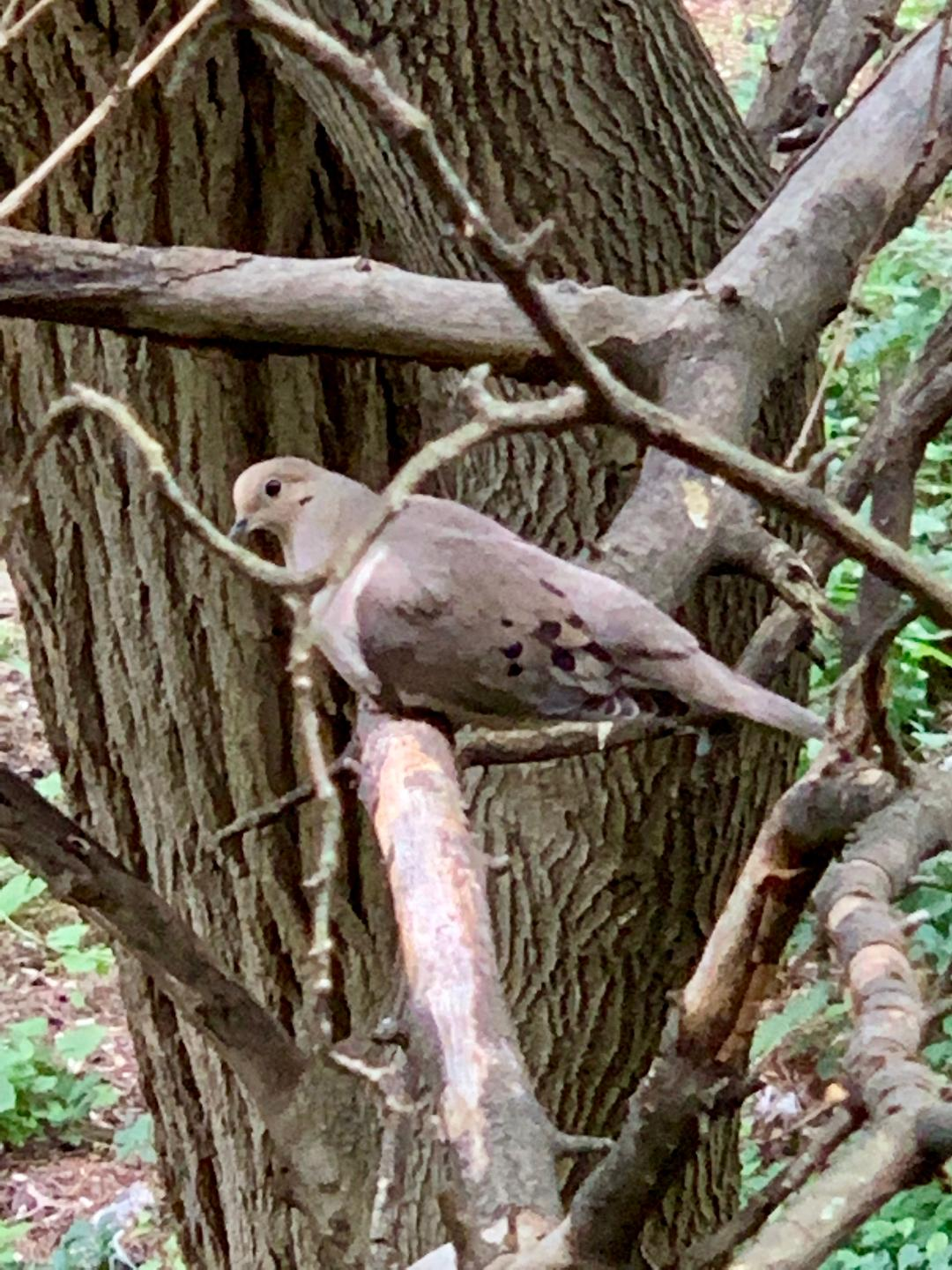 The Birdy Tree Of Doves And Pigeonry