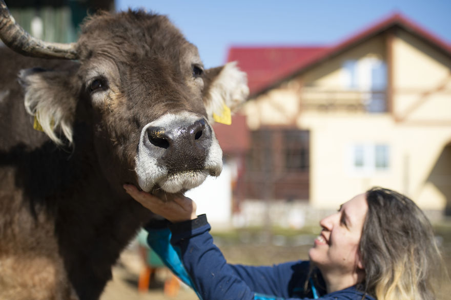 Cows Use Different Body Positions And Facial Expressions To Communicate