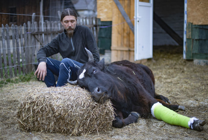 Cows Remember Everything Including When Their Human Helps Them Heal A Broken Leg