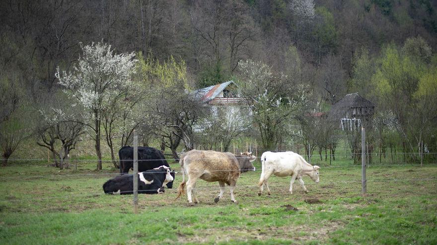 Cows Have Social Hierarchies