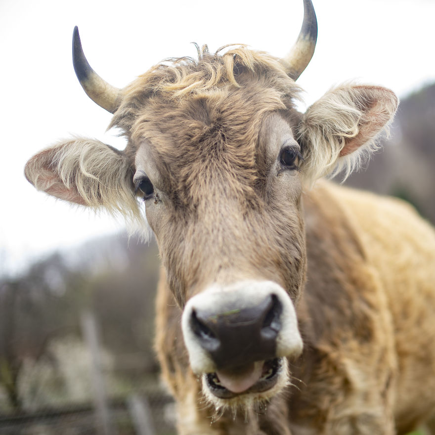 Cows Live Up To 20 Years, Which Is 4 Times The Average Life Span Of Cows Used In The Dairy Industry