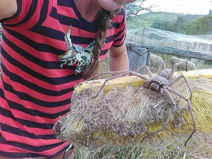 Esta es una de las arañas menos peligrosas de Australia