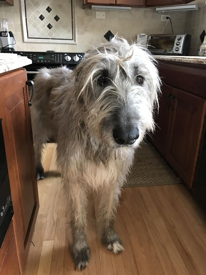 Our Irish Wolfhound Turns 6 This Year. She's As Tall As The Counters In The Kitchen