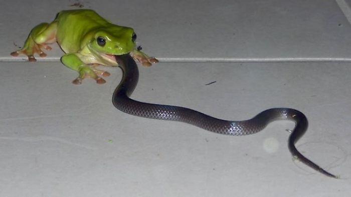 Rana comiendo una serpiente