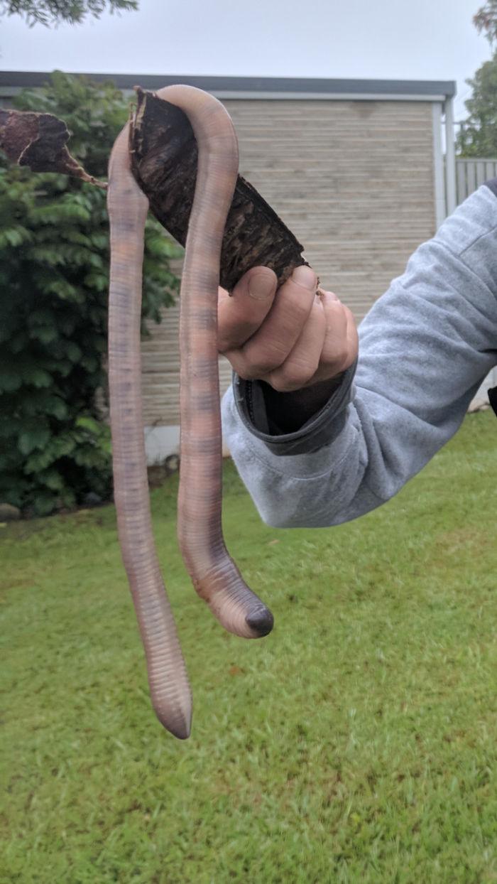 Lombriz enorme encontrada en Queensland