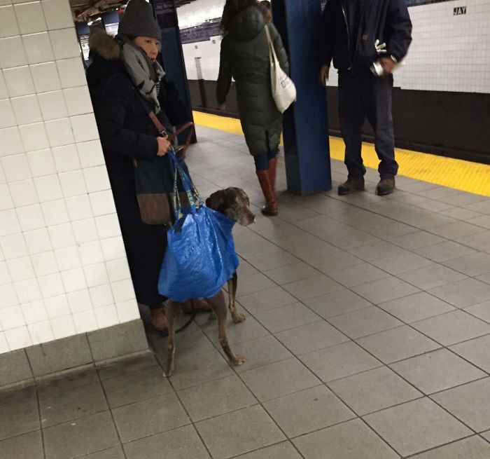 So NYC MTA (Subway) Banned All Dogs Unless The Owner Carries Them In A Bag. I Think This Owner Nailed It