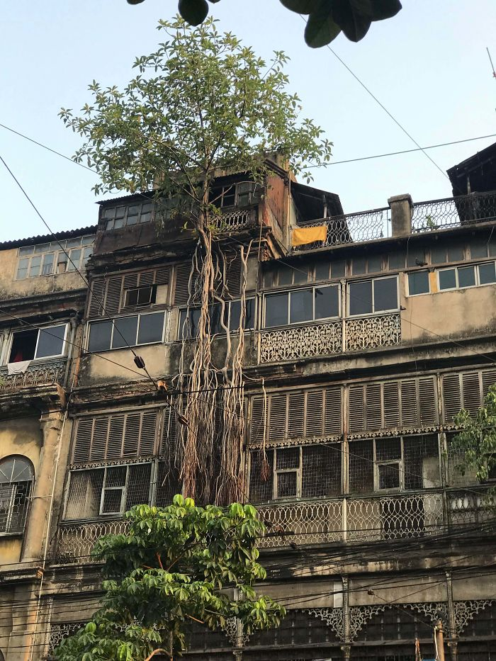 A Sacred Tree Reclaiming An Occupied 5 Story Building In An Old Section Of Downtown Kolkata