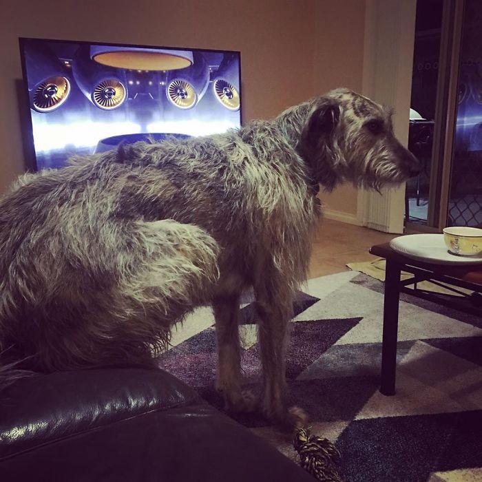 Just Irish Wolfhound Things...