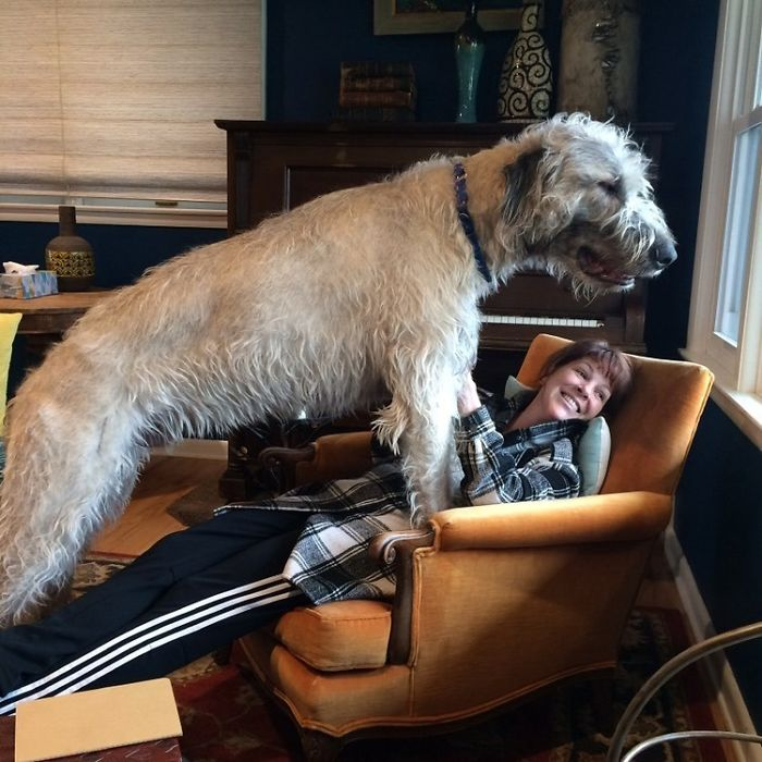 My Buddy Chester Almost One Year Old Irish Wolfhound. He Wanted To Look Out The Window