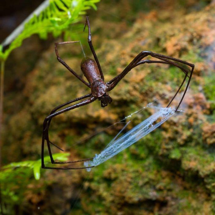 Araña lanzadora de tela
