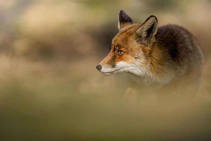 Foxes Of Amsterdam