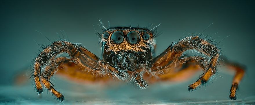 Panorámica Salticidae (Spider Jump)