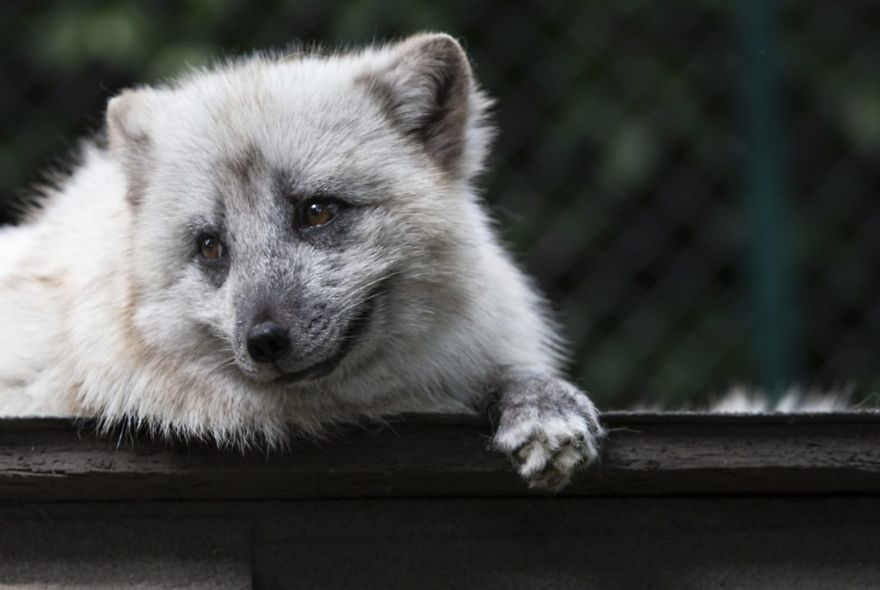 The Animals Who Escaped The Horror Of A Fur Farm And Now Live Happily At Sanctuaries