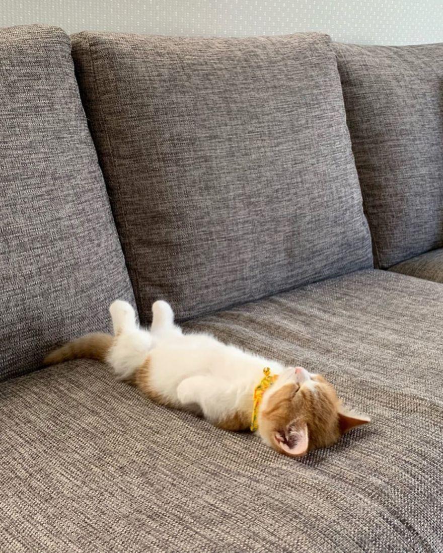 8 Pics Of Adorable Munchkin Kitten That Sleeps Like A Human