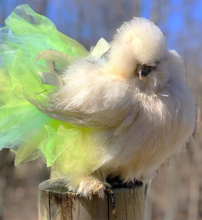 Chickens In Tutus Is A Thing And They Look Lovely (24 Pics)