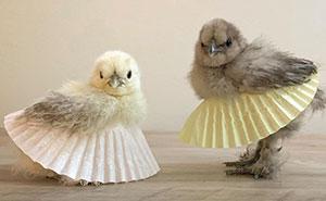 Las gallinas con tutú se han vuelto tendencia, y están encantadoras (24 imágenes)