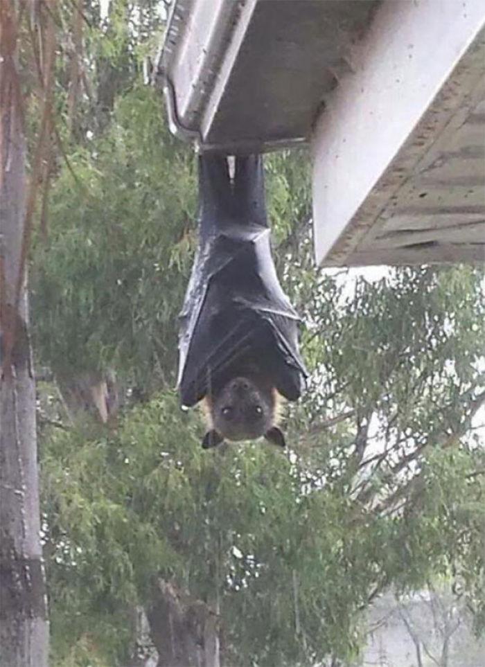 Zorro volador gris colgando del tejado