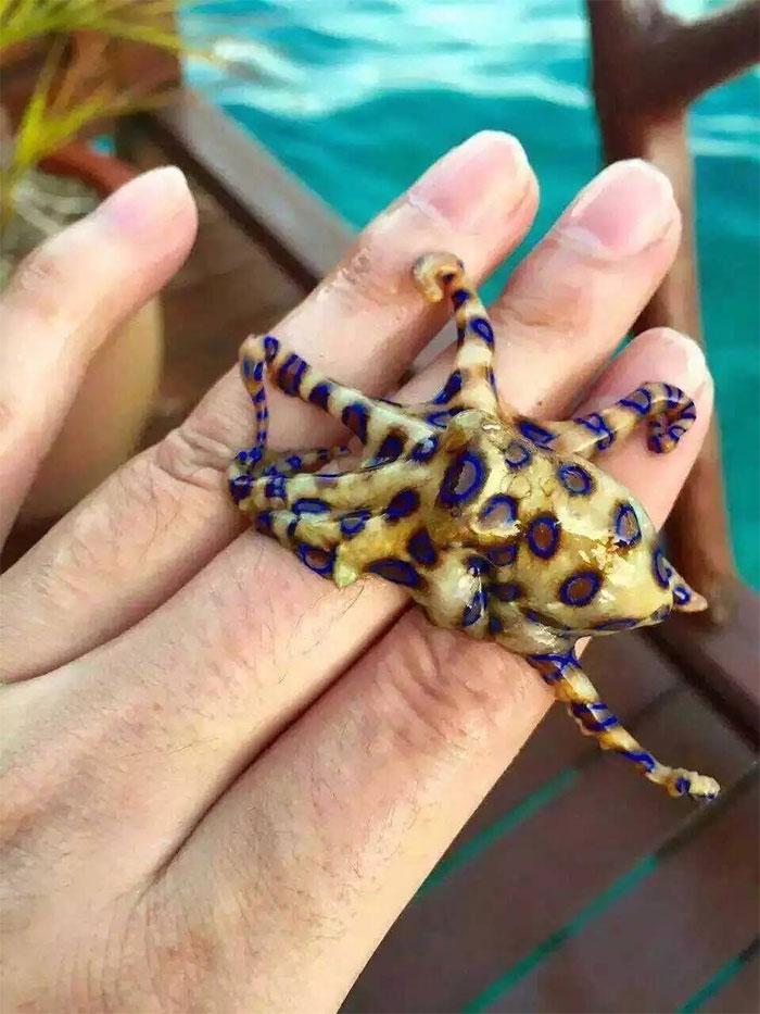 Un pulpo de anillos azules en una mano. Es venenosísimo