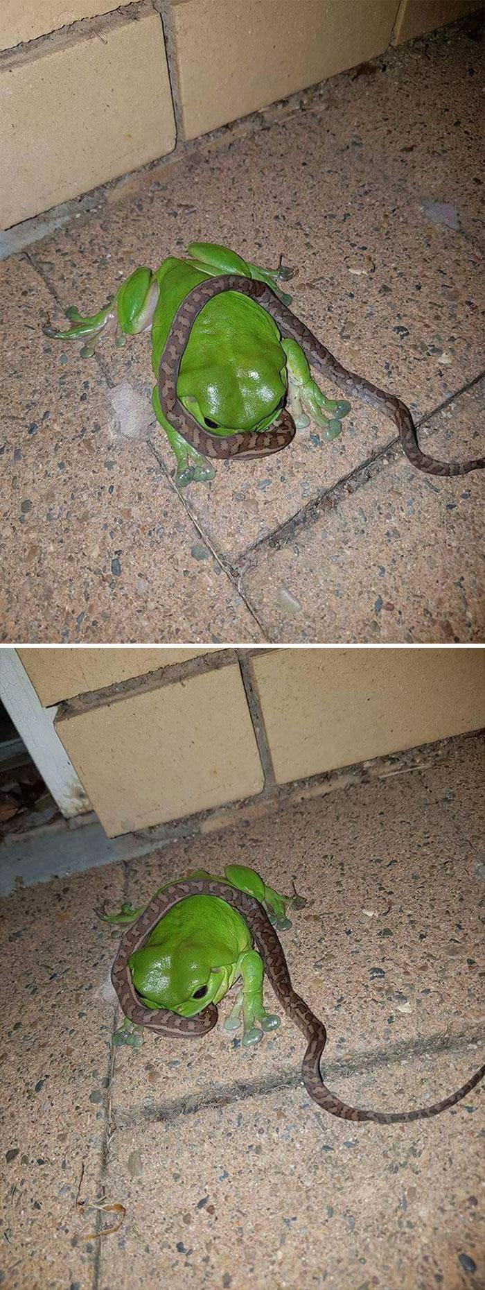 En Australia, las ranas comen serpientes