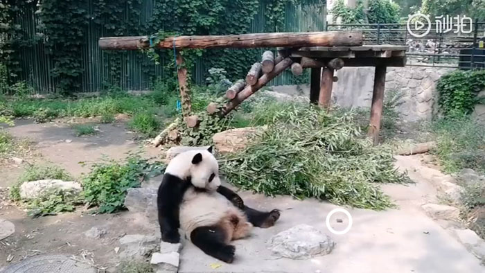 Tourists Throw Rocks At Panda Because They're Bored She's Sleeping