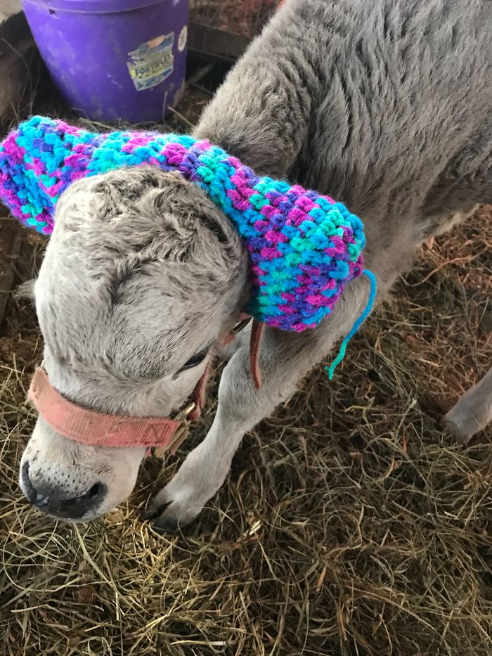 Image result for Viral photo shows charming way farmers protect calves' ears from frostbite