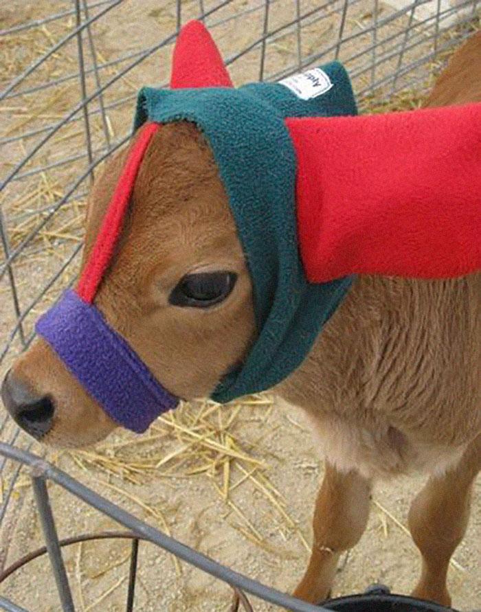 cute-cows-earmuffs-5d1b4555634a7__700.jpg