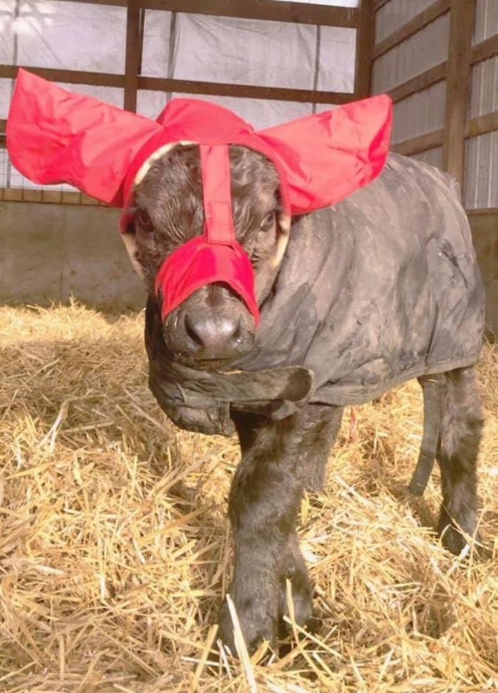 Turns Out, Farmers Are Protecting Their Calves From Frostbite With Earmuffs, And It's Too Cute
