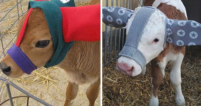 Resulta que los granjeros protegen a sus terneros con orejeras para que no se congelen, y es adorable