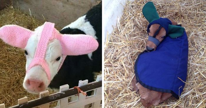 Turns Out Farmers Are Protecting Their Calves From