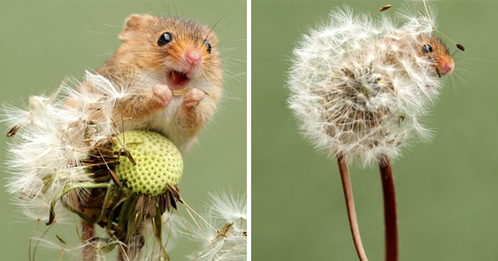 35 Adorable Photos Of Harvest Mice Living Their Tiny Lives By Dean Mason